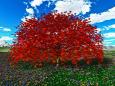 紅葉したカエデの大樹