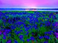 濤沸湖~ノハナショウブの群落