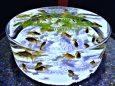 涼しげな金魚鉢