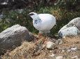 立山の白雷鳥3