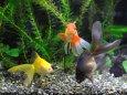 3色3匹の金魚