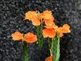 花 植物 クロサンドラ 壁紙1920x1280 壁紙館