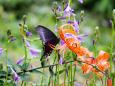 蝶とコオニユリ