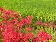 畦に咲く彼岸花