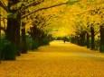 黄色い並木