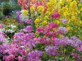 早春の草花・西洋さくら草