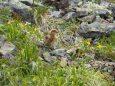 白馬岳のチビ雷鳥