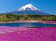 待ち遠しい春・富士山と芝桜