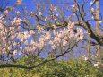 公園に咲く梅花