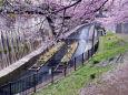 春の石神井川・2