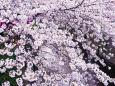 目黒川 ・川面を彩る桜
