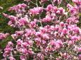 モクレンの花満開