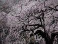 枝垂れ桜の大木