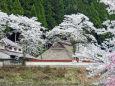 茅葺き屋根に満開の桜