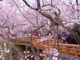 高遠城址公園・桜雲橋と桜