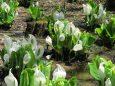 春の六甲山の花・ミズバショウ
