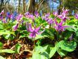 春の六甲山の花・カタクリノ花