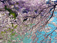 千鳥ヶ淵の春