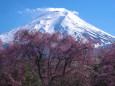 富士山としだれ桜