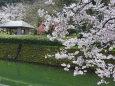お堀端の桜12