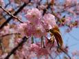 通り抜けの桜・御殿匂
