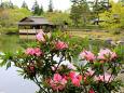 日本庭園のシャクナゲ