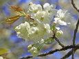 花見山のウコン桜