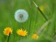 春の象徴タンポポの花