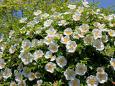 散歩道の花 1704-25-1