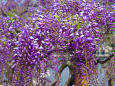 花 植物 むらさき藤 壁紙1920x1280 壁紙館