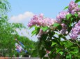 リラの花咲く頃