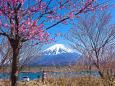 精進湖畔から春の富士山
