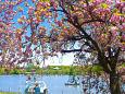 八重桜咲く不忍池