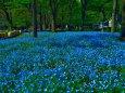 ネモフィラの咲く公園