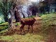 丹沢の鹿・3