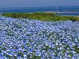 日本の風景 海沿いに咲くネモフィラ 壁紙1920x1280 壁紙館