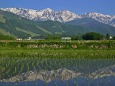 水田の白馬三山