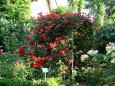 いっぱい咲いたバラの花