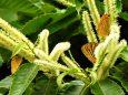 栗の花に集まるゼフィルス