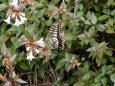 アベリアにアゲハチョウ