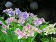 青・赤・白の紫陽花コンペイトウ