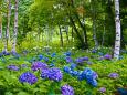 白樺林と紫陽花