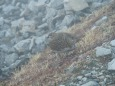 白馬岳の雌雷鳥