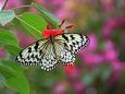 日本最大の蝶オオゴマダラ