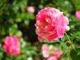 秋の薔薇 クロード・モネ