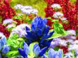 青色冴えるリンドウの花