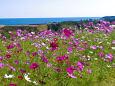 海沿いに咲くコスモス