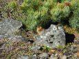 継子岳のチビ雷鳥4