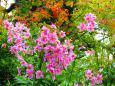 秋雨に濡れる長谷寺の秋明菊