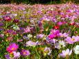 いっぱい咲いたコスモス